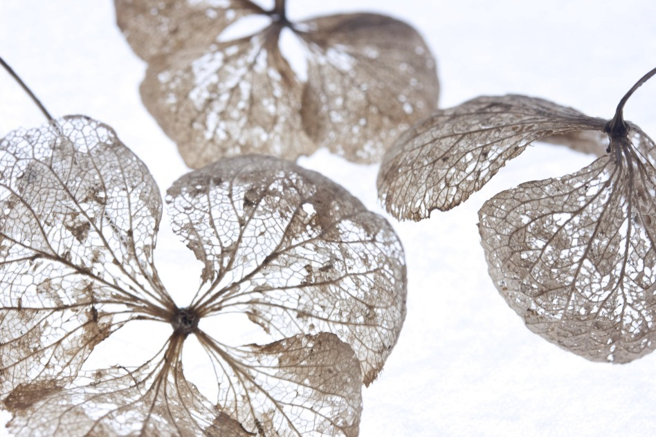Cathy Pyle - Advanced - Winter hydrangea